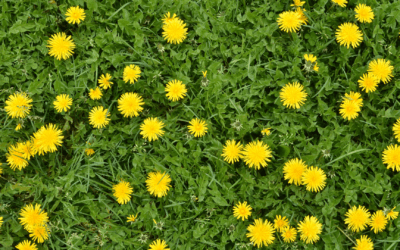 The Benefits of Dandelion and its multiples uses