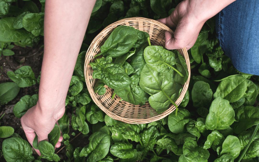 Spinat – das ultimative Frühlingsgemüse!